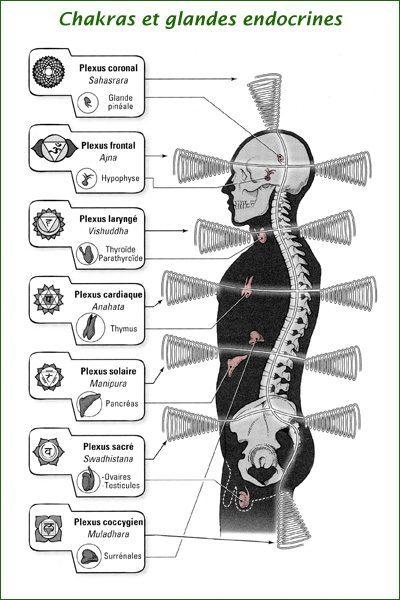 Les Chakras et les glandes endocrines associées